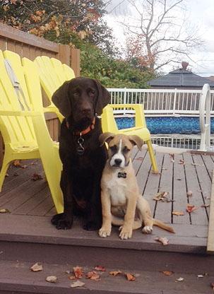 Breukhaven Labrador Retriever Kennel